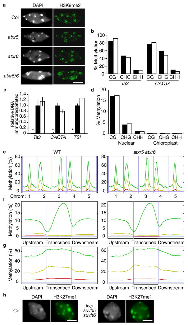 Mutations in atxr5 and atxr6 do not affect H3K9 dimethylation or DNA methylation. ( a ) Leaf interphase nuclei were stained with DAPI and analyzed for immunoflorescence with anti-H3K9me2 antibodies. Scale bar = 5 μm. (b, d ) DNA methylation analysis by (b) locus-specific ( Ta3 and CACTA ) and (d) genome-wide BS-Seq. Black and white bars represent wild type and atxr5 atxr6 , respectively. ( c ) ChIP analysis of repetitive elements using H3K9me2 antibodies. Black and white bars indicate relative levels of immunoprecipitated DNA normalized to ACTIN , as determined by real-time PCR, from wild type and atxr5 atxr6 , respectively. Grey bars represent no antibody controls. The data are presented as mean ± SEM for three individual experiments. ( e ) Distribution of methylation along the five Arabidopsis chromosomes. ( f ) Average methylation levels within protein coding genes. ( g ) Average methylation levels within pseudogenes and transposons. (e–g) A horizontal blue line indicates zero percent methylation. Panels on the left correspond to wild type and panels on the right correspond to atxr5 atxr6 double mutant. CG methylation is indicated by green lines, CHG methylation is indicated by yellow lines, and CHH methylation is indicated by red lines. (e) Vertical blue lines are used to separate different chromosomes. (f, g) Vertical blue lines mark the boundaries between upstream regions and gene bodies and between gene bodies and downstream regions. ( h) Leaf interphase nuclei of wild-type plants and kyp suvh5 suvh6 triple mutants were stained with DAPI and analyzed for immunofluorescence with anti-H3K27me1. Scale bar = 5 μm.