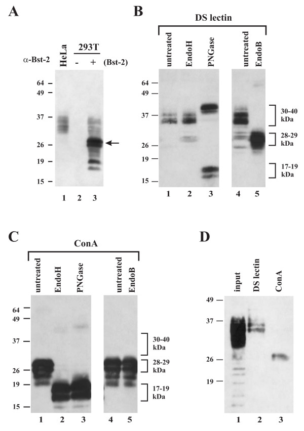 Comparison of endogenous BST-2 in HeLa cells to BST-2 expressed in transiently transfected 293T cells . (A) 293T cells were transfected with wt BST-2 (lane 3). A mock transfected culture from HeLa (lane 1) and 293T cells (lane 2) was analyzed in parallel. Whole cell lysates were processed for immunoblotting as described in Methods. The arrow identifies a BST-2 species in transfected 293T cells not seen in HeLa cells. (B C) Endoglycosidase analysis of transiently expressed BST-2. 293T cells were transfected with pcDNA-BST-2. BST-2 was enriched by adsorption to either datura stramonium lectin resin (DS lectin) (B) or Concanavalin A resin (ConA) (C) as described in Methods. DS lectin or ConA bound proteins were either left untreated (lanes 1 4) or treated with endoglycosidase H (EndoH) (lanes 2), Peptide: N-Glycosidase F (PNGase) (lanes 3), or endo-β-galactosidase (EndoB) (lanes 5) as described in Methods. Proteins were visualized by immunoblot analysis using a BST-2 specific antibody. (D) HeLa extracts were adsorbed to DS lectin (lane 2) and ConA resin (lane 3) as described for panels B C. Total input lysate is shown in lane 1. A high mannose form of endogenous BST-2 was enriched on the ConA resin.