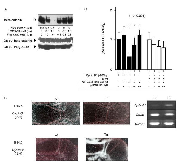 CARM1 regulates Cyclin D1 gene expression . (A) Lysates of SW1353 cells transfected with wt or mutant Flag-Sox9 were immunoprecipitated with anti-Flag antibody. Precipitates were subjected to Western blotting with an anti-beta-catenin (middle panel) and anti-Flag antibody (lower panel), respectively. Interaction of beta-catenin with wt Sox9 was almost abolished in the presense of high-dose CARM1 (upper panel). (B) Left: Expression of Cyclin D1 mRNA (ISH) in the humerus of E16.5 heterozygous, mutant and E14.5 wt and Tg embryos. Right: Expression of Cyclin D1 mRNA from E16.5 limb buds by RT-PCR. (C) Transcriptional regulation of the Cyclin D1 promoter by Flag-Sox9 and pCMX-CARM1 expression plasmids. Activating of Tcf mt reporter was also measured by a luciferase assay. Statistical significance is assessed by one-way analysis of variance and unpaired Student's t -test (*).