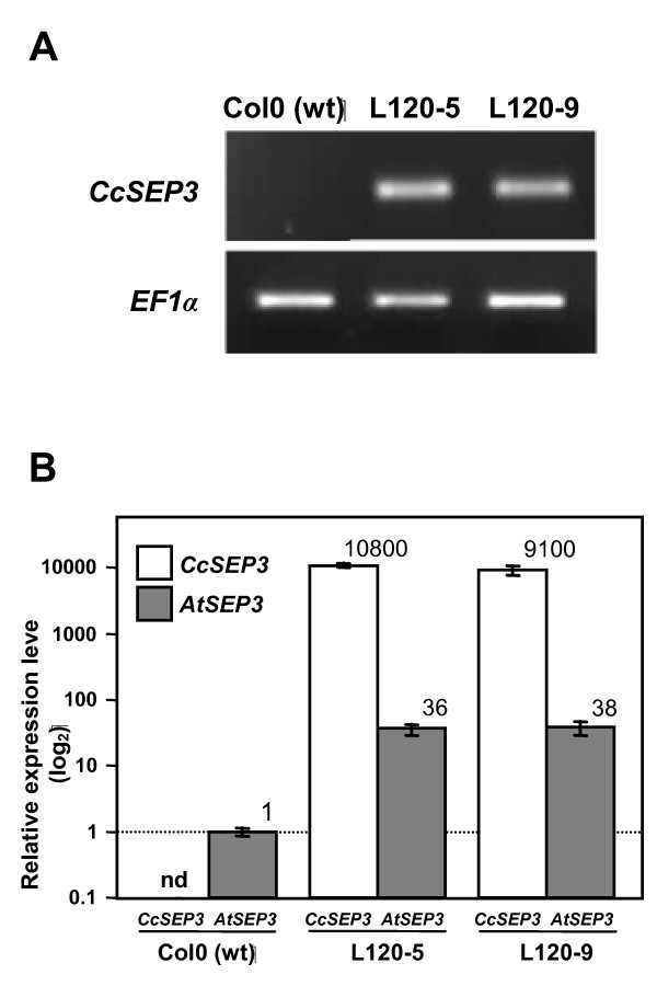 Expression analysis of transgenic Arabidopsis plants that overexpress the CitrSEP gene . A , Semi-quantitative RT-PCR analysis of 12-day old untransformed Col-0 and transgenic lines L120-5 and L120-9. B , qRT-PCR of CitrSEP and endogenous SEP3 in transgenic lines. Expression was normalized to the expression of the constitutive EF-1-α gene, and then to the expression in Col-0 plants. For normalization purposes, the detection level of our qRT-PCR analysis was used as an estimate of CitrSEP expression in Col-0. Expression level is indicated in the plot. nd, not detected.