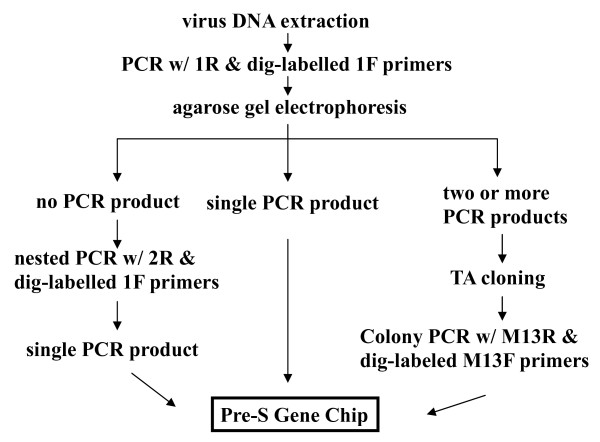 Working scheme of Pre-S Gene Chip analysis . The virus <t>DNA</t> is extracted from the patient's blood or liver tissue. The pre-S region is <t>PCR-amplified</t> using PCR-1R and 5'-dig-labeled 1F primers. The PCR products are visualized using agarose gel electrophoresis and ethidium bromide staining. In cases where no PCR products are seen---perhaps because of a low HBV DNA titer---nested PCR using PCR-2R and 5'-dig-labeled 1F primers is done. When only a single PCR product is seen, the DNA product is directly subjected to chip hybridization. However, when two or more different types of pre-S PCR products are seen in agarose gel, the products are first directed to TA cloning. Multiple plasmid clones are then analyzed using colony PCR with M13R and 5'-dig-labeled 13F primers. These PCR products are then analyzed using the Pre-S Gene Chip.