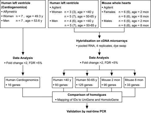 Experimental design to screen for genes with sex-biased expression in the heart of mice and human donors. Total RNA was isolated from mouse whole heart samples and from myocardial tissue of human donors. Cyanine dye labelled cDNAs generated from pooled RNAs were hybridised on Agilent cDNA microarrays. In addition, human myocardial expression datasets were downloaded from CardioGenomics and filtered for sex-biased genes. Candidate gene lists were compared to identify sexual dimorphisms in young as well as aged individuals and both species and platforms. Expression levels of several candidate genes were quantified individually by real-time PCR (QPCR) in the same samples used for microarray analysis and in left ventricular samples from female mice at different stages of the oestrous as well as from males ( n = 8 per group). Numbers of individuals analysed by QPCR are shown in brackets . FDR , false discovery rate; y , years; mon , months