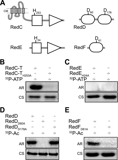 A , domain architecture of RedC–F two-component signaling homologs. Shown is a schematic diagram of conserved domains detected by SMART ( 40 , 41 ) in RedC histidine kinase, RedE histidine kinase-like protein, and RedD and RedF response regulator proteins. Gray rectangles , transmembrane segments predicted by TMpred Server (available on the World Wide Web); white squares , HisKA phosphoaccepting/dimerization domain; white triangles , HATPase_c ATP binding and hydrolysis catalytic domain; white circles , REC receiver domain. Amino acid positions of the invariant histidine ( H ) and aspartic acid ( D ) residues predicted to be the sites of phosphorylation are identified in the relevant domains. B–E , autophosphorylation analysis of Red TCS homologs. Shown are 10 μ m purified histidine kinase RedC-T ( B ) or histidine kinase-like RedE ( C ), 5 μ m response regulators RedD ( D ) and RedF ( E ), and their respective point mutants. 32 P-ATP , [γ- 32 P]ATP; 32 P-Ac , [ 32 P]acetyl phosphate; AR , autoradiograph; CS , Coomassie-stained gel.