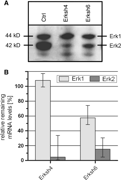 """Western blot and qRT-PCR analysis of downregulation efficiency of shRNA vectors. a ShRNA vectors were tested in ES cells, as described in section """"Materials and Methods"""" ; Western blot analysis revealed that Erksh4 and Erksh6 downregulated specifically ERK2, as compared to control samples (""""Ctrl""""). b Erksh4 and Erksh6 were further analyzed with qRT-PCR; the results confirmed the specific and significant reduction in ERK2 expression for Erksh4, while Erksh6 reduced ERK2, but affected also Erk1 mRNA level, and was therefore excluded from further experiments. Error bars show minimal and maximal results from triplicate measurements"""
