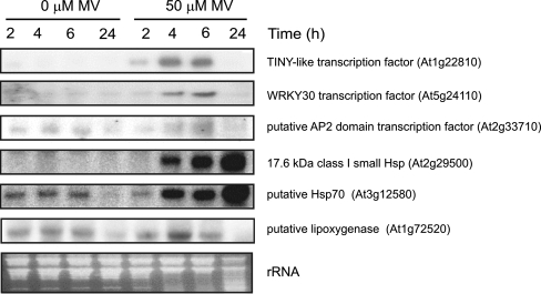 Analysis of MV up-regulated genes by Northern blot hybridization. Twenty micrograms of total RNA from control and MV-treated seedlings harvested at the indicated times after the onset of MV treatment were fractionated on formaldehyde–agarose gels and transferred to nylon membranes. Membranes were hybridized with 32 P-labelled cDNA fragments of the indicated genes and their MIPS identifiers are indicated