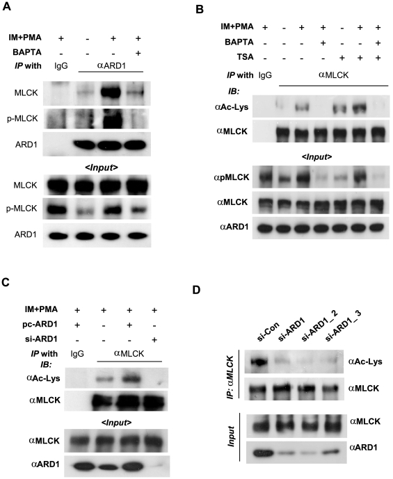 hARD1-binding and lysyl-acetylation of MLCK are stimulated by Ca 2+ signaling. (A) The hARD1-MLCK interaction is stimulated by the Ca 2+ signaling. HT1080 cells were co-transfected with 4 µg each of pcARD1 and pcMLCK. The cells were treated with 1 µM ionomycin (IM) and 30 nM phorbol myristate acetate (PMA) for 8 h, or 20 µM BAPTA-AM for 3 h. MLCK was co-immunoprecipitated by anti-ARD1 antibody. Co-precipitated proteins were analyzed by immunoblotting (upper panel). The input levels were analyzed by immunoblotting (lower panel). (B) The lysyl-acetylation of MLCK is augmented by Ca 2+ signaling. Untransfected HT1080 cells were treated with ionomycin and PMA for 8 h or BAPTA-AM for 3 h, alternatively, Trichostatin-A (TSA) at 500 nM was treated for 5 h before cell harvest. The cell lysates were immunoprecipitated with anti-MLCK antibody, and immunoblotted by anti-acetyl-lysine or anti-MLCK antibody. (C) MLCK is acetylated by hARD1. HT1080 cells were transfected with pcARD1 (4 µg) or ARD1-silencing RNA (si-ARD1, 80 nM), and then treated with ionomycin and PMA for 8 h. In the samples immunoprecipitated with anti-MLCK antibody, total MLCK and acetylated MLCK were analyzed by immunoblotting. (D) Endogenous MLCK is acetylated hARD1-dependently. Endogenous MLCK was down-regulated in HT1080 cells using each of three siRNAs (80 nM) targeting different sites of ARD1 mRNA, and then treated with ionomycin and PMA for 8 h. Acetylated MLCK was immunoprecipitated by anti-MLCK antibody and immunoblotted with anti-acetyl-lysine antibody. Input protein levels were analyzed by immuboblotting with specific antibodies.