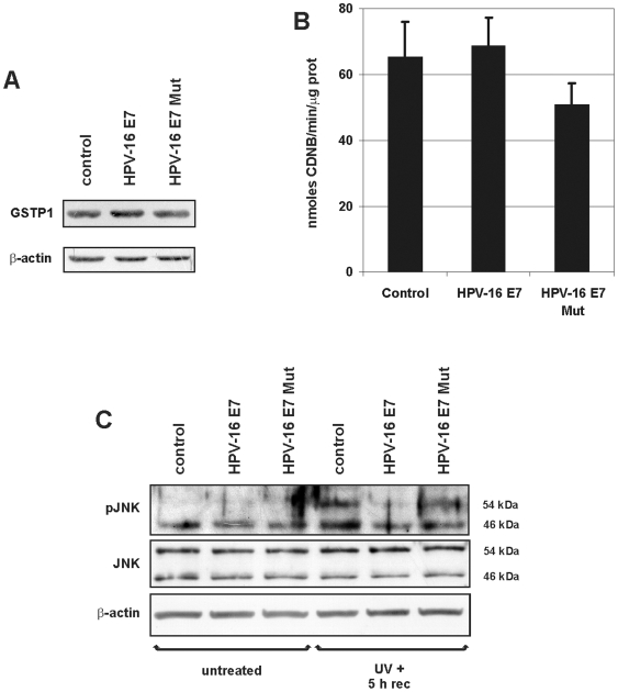 GSTP1 activities in HPV-16 E7- and HPV-16 E7 Mut-expressing HaCaT cells. A: A representative Western blot for GSTP1 in control cells and HPV-16 E7- and HPV-16 E7 Mut-expressing HaCaT cells. Blots were normalized against β-actin levels. B: GSTP1 enzymatic activity in control, in HPV-16 E7- and HPV-16 E7 Mut-expressing HaCaT cells (see Materials and Methods ). Values are averages of three different experiments±SEM and their variations were not statistically significant. C: JNK protein levels in control and in HPV-16 E7- and in HPV-16 E7 Mut-expressing HaCaT cells that were untreated or cells that were sampled after induction of oxidative stress by exposure to UV (UVB, 5 mJ/cm 2 for 1 min) with a 5 h recovery period, evaluated using an antibody specific for the phosphorylated form of JNK (pJNK) and another antibody that detects total JNK levels (JNK, performed on a separate twin gel). Only after UV exposure did HPV-16 E7-expressing cells display a markedly reduced JNK phosphorylation, while a lower reduction in JNK phosphorylation was detectable in HPV-16 E7 Mut-expressing cells.