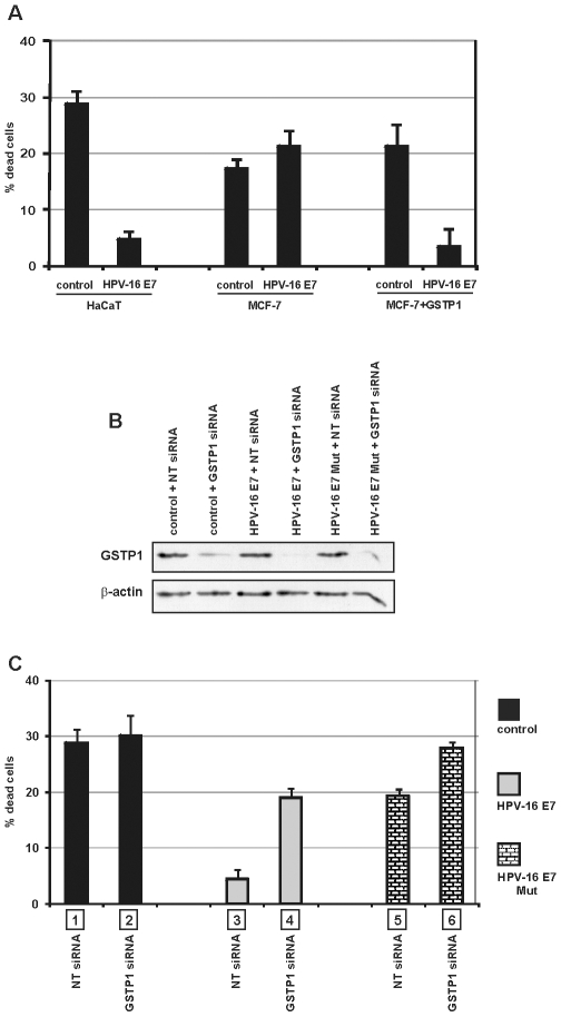 Roles of HPV-16 E7 and GSTP1 and their interaction in cell survival after UV exposure. A: After exposure to UV radiation (UVB, 5 mJ/cm 2 for 1 min), control and HPV-16 E7-expressing HaCaT cells showed a significant correlation between HPV-16 E7 expression and cell survival ( p = 0.000003, ***). Under the same conditions, GSTP1-deficient MCF-7 cells displayed no significant differences in survival, and thus no HPV-16 E7-related protection. Forced expression of GSTP1 in control and HPV-16 E7-infected MCF-7 cells restored the ability of HPV-16 E7 to protect against UV-induced cell death ( p = 0.0046, **). Values are the averages of three independent experiments performed in triplicate±SEM. B: Control, HPV-16 E7- and HPV-16 E7 Mut-infected HaCaT cells were transfected with non-targeting (NT) siRNA or with siRNA targeting GSTP1. After 72 h, GSTP1 siRNA-treated cells showed decreased GSTP1 protein expression. C: Cells, exposed to UV radiation as above, were collected and the number of Trypan blue-negative (live) cells was determined. The differential survival rate between cells unexposed and exposed to UV radiation was then calculated, and the results were expressed as percentages of dead cells after UV exposure. The results show a remarkable effect of HPV-16 E7 on cell survival (bars 1 vs. 3), a less effective protection by HPV-16 E7 Mut (bars 1 vs. 5), and the consequences of GSTP1 silencing in HPV-16 E7- (bars 3 vs. 4) and HPV-16 E7 Mut- expressing cells (bars 5 vs. 6). This panel indicates the role of GSTP1 in HPV-16 E7-induced cell survival and the importance of the binding ability of the oncoprotein in inducing the GSTP1-mediated increase in survival. Values are the average of three independent experiments performed in triplicate±SEM. Statistical significance of the reported values: bars 1 vs. 3 p = 0.00004, ***; bars 1 vs. 5 p = 0.0009, ***; bars 3 vs. 5 p = 0.000004, ***; bars 3 vs. 4 p = 0.0002, ***; bars 5 vs. 6 p = 0.0001, ***; bars 2 vs. 4 p = 0.0288, *; bars 