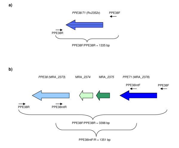 Schematic representations of the PPE38 gene region in the H37 reference strain published sequences . The PPE38 region from the published H37Rv (2a) and H37Ra (2b) sequences are shown. Colour coding as follows: PPE38 pale blue, PPE71 dark blue, MRA_ 2374 pale green, MRA_ 2375 dark green. Locations of the PPE38F/R and PPE38 IntF/R primers are shown. 2a. H37Rv ATCC reference strain (published whole genome sequence) The published H37Rv sequence [ 1 ] represents the RvD7 genotype. Recombination between PPE38 and PPE71 results in a single PPE38/71 gene (Rv 2352c ) and loss of the 2 esx -like genes MRA_ 2374 and MRA_ 2375 . The PPE38F/R primers (black arrows) are predicted to produce an amplicon of 1335 bp from the RvD7 genotype. It is impossible to determine which PPE38/71 gene has been deleted hence the mixture of colours used. The published H37Rv sequence is not representative of the H37Rv ATCC reference strain, most clinical isolates, or the H37Ra whole genome sequence [ 19 ]. This genotype is also seen in strains SAWC 2240 (CAS, F20), SAWC 1748 (Pre-Haarlem, F24), SAWC 1595 (Quebec/S), SAWC 1841 (Haarlem, F4), CPHL_A (WA-1, M. africanum ), T17 (PGG1, EAI), EAS054 (PGG1, EAI), strain C (LCC,