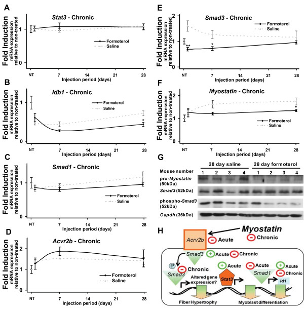 Chronic systemic administration of formoterol alters the expression of genes associated with skeletal muscle hypertrophy and myogenesis at multiple timepoints . Quantitative RT-PCR was used to assay the expression of A . Stat3 , B . Idb1 , C . Smad1 , D . Acvr2b , E . Smad3 , and F . <t>Myostatin</t> mRNAs in tibialis anterior over chronic timepoints. Muscles were removed at 1, 7 and 28 days following daily intraperitoneal injection of formoterol or saline vehicle (NT = no treatment). Results were normalized against 36B4 at each timepoint. Data are expressed as mean ± SEM (n = 5). Statistical significance was assessed using a one-way ANOVA with Bonferroni's post-test where p