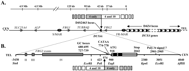 Localization of the DUX4 and DUX4c genes. (A) Schematic representation of the 4q35 subtelomeric region with the D4Z4 repeat array and the SLC25A4 (previously known as ANT1 ) [41] , ALP [60] , FRG1 [14] , TUBB4Q [15] and FRG2 [16] genes. DUX4 maps within each D4Z4 element [21] and DUX4c within an isolated inverted D4Z4 unit at the D4S2463 locus. S/MAR and FR-MAR: nuclear scaffold/matrix attachment regions, [13] . Upper line: 4q35/10q26 limit of homology [27] . (B) Enlargement (inverted orientation) of the 7.5-kb fragment that contains DUX4c with part of the FRG2 gene. The DUX4c ORF is boxed, with the homeoboxes in black. The promoter GC boxes, the putative variant TATA box (CATAA) and polyadenylation signal are indicated. Numbering from the Eco RI site (GenBank acc. no. AY500824).