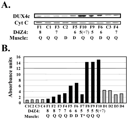 DUX4c protein expression in muscle biopsies. (A) 30 µg protein extracted of muscle biopsies were analyzed by Western blot as in Fig. 3 , except that cytochrome C was the internal loading control. (B) Densitometric scanning of the Western blot shown in (A) and of additional samples (not shown): DUX4c expression levels were normalized to cytochrome C (relative absorbance units). Samples are indicated C1 to C4 for controls, F1 to F10 for FSHD, and D1 to D4 for DMD as well as the D4Z4 copy numbers of the FSHD patients. The biopsied muscle is indicaded (D, Q: non-affected deltoid or quadriceps ; T*: affected trapezius ). F10 also has a D4Z4 array contraction on the second 4q35 allele (+7).