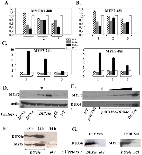 DUX4c over-expression induces MYF5. (A–C) TE671 cells were transfected with the indicated pCIneo vectors. Nuclear extracts were deposited in triplicate on a plate where the MYOD1, MEF2 or MYF5 specific DNA target was immobilized. The DNA-bound protein was detected by ELISA (TransAm assay). Relative absorbances are given relative to the insertless pCIneo sample arbitrarily set to 1. Three independent experiments (1 to 3) made in triplicate are presented. (D) TE671 nuclear extracts were prepared 48 h after transfection as above and 30 or 15 (*) µg were analyzed by 10% PAGE-SDS and Western blotting with a serum raised against MYF5 or actin (internal control). NT: non transfected cells. (E) same as in D but transfection was with pAC1M2-DUX4c and DUX4c expression induced by doxycycline (o to1000 ng). (F) Mouse C2C12 cells were transfected with the indicated pCIneo vectors. Total protein extracts were prepared 24 or 48 h later and 40 µg were analysed by Western blot with a serum raised against MYF5 or DUX4c as in D. (G) 40 µg nuclear extracts of TE cells transfected with the indicated vectors were subjected to immunoprecipitation with the anti-DUX4c or the anti-MYF5 serum. The immunoprecipitate was analysed by Western blot with the anti-DUX4c or anti-MYF5 serum as in D.