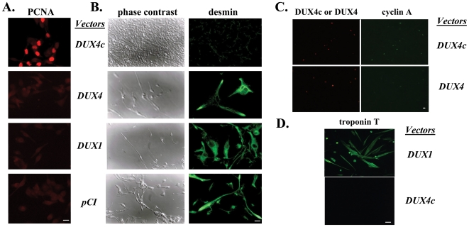 DUX4c over-expression induces cell proliferation. (A) PCNA was detected by immunofluorescence (red) 24 h post transfection with the pCIneo vectors indicated. The picture of DUX4c expressing cells was exposed 1.4 sec versus 2.7 sec for the other panels to visualize the cells. (B) The cells were switched 24 h post transfection to a differentiation medium, and observed 4 days later by phase contrast microscopy (left panels). Early differentiation was evaluated by desmin detection (green, right panels). (C) Cyclin A (green) and DUX4/4c (red) were detected by immunofluorescence 24 h post transfection of human immortalized myoblasts with the indicated pCIneo -vectors. (D) Human immortalized myoblasts were transfected with the indicated pCIneo -vectors and switched to differentiation medium 48 h later. Troponin T was detected by immunofluorescence 8 days later. Bars correspond to 20 µm.