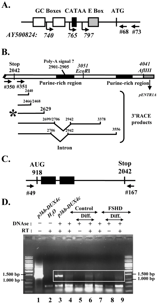 Characterization of the DUX4c mRNA. (A) Schematic representation of the DUX4c promoter with the transcription start sites (arrows and positions) identified by 5′ RACE (primer indicated) on RNA extracted from control and FSHD myoblasts. (B) Top: Schematic representation of the p7.5 kb-DUX4c insert (see Supporting Information S2 ) close to its 3′ cloning site, showing the stop codon, the putative poly-A addition signal, two purine-rich (86 and 83%) regions (black boxes) and the primers used in 3′RACE (arrows, #350 and 351). Bottom: Mapping of the multiple 3′ ends and alternative splicing detected in the 3′RACE products. These were derived from RNAs of either C2C12 cells transfected with p7.5 kb-DUX4c or FSHD primary myoblasts (*). (C) Schematic representation of the DUX4c ORF with the homeoboxes (black boxes) and the primers used for RT-PCR. (D) Amplification of the DUX4c mRNA was performed on total RNA extracted from FSHD (F24) or control primary myoblasts (C29) either in proliferation (lanes 4 and 7) or differentiated to myotubes (diff.). RNA samples were incubated (+) or not (−) with DNase I, and reverse transcriptase (RT) as indicated. The PCR products were analysed by electrophoresis on a 1%-agarose gel and stained with ethidium bromide. As a positive control (lane 3), RT-PCR was performed on RNA of C2C12 cells transfected with p3 kb-DUX4c .