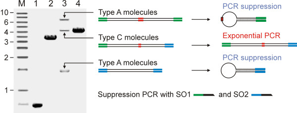 Agarose gel electrophoregram demonstrating the types of molecules forming during one individual round of mutagenesis . Lanes 1 and 2, PCR of target DNA with SO1/IR1 and SO2/IF1 oligonucleotides; Lane 3, homomeric (type A) and heteromeric (type C) DNA molecules formed during ligation of SO1/IR1 and SO2/IF1 DNA fragments (also, see Figure 1); Lane 4, suppression PCR with SO1 and SO2 oligonucleotides. The scheme on the right shows a graphical representation of type A and type C molecules that are present in lane 3 of the gel. During suppression PCR, intramolecular hybridization of inverted repeat sequences prevents binding of SO1 and SO2 oligonucleotides to the type A molecules that prevent their effective replication. Type C molecules amplify exponentially (see Additional File 1 for further details). Lane M, DNA size ladder with indicated positions of 1, 2, 3, 4, 6, and 10 kb DNA fragments (GeneRuler 1 kb DNA Ladder, Fermentas).