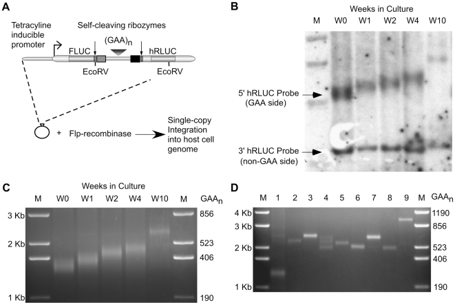 Model of GAA·TTC repeat expansion in human cell lines. (A) Tandem reporter construct designed to isolate transcription elongation through GAA·TTC repeat insert sequences. Single copy integration of the construct into the genome of the host cell line is facilitated via conservative, site-specific recombination using Flp-recombinase. (B) Southern blot analysis of GAA·TTC repeat expansion using the template DNA isolated from a human cell line with a (GAA·TTC) 352 insert after 0, 1, 2, 4, and 10 weeks (W0–W10) in culture. M: 1 Kb plus size standard. EcoRV digestion of the genomic DNA cuts the tandem construct upstream of the GAA·TTC repeat region and between the 5′ hRLUC and 3′ hRLUC regions. 5′ hRLUC probe is specific to the 5′ side of the hRLUC reporter in the tandem construct containing the GAA·TTC insert region. 3′ hRLUC probe is specific to the 3′ region of the hRLUC expression cassette in the tandem construct and is not associated with the GAA·TTC repeat region. (C) PCR analysis of a (GAA·TTC) 352 repeat insert isolated at W0, W1, W2, W4, and W10 from Figure 1B . PCR amplification adds 438 bp to the GAA·TTC insert (5′: 338 bp+(GAA) n +100 bp: 3′). M: 1 Kb plus size standard (D) PCR analysis of GAA·TTC repeat inserts from clonal cell isolates derived from an end-point dilution of the (GAA·TTC) 352 parental cell line at W4 in Figure 1B and 1C . PCR amplification adds 438 bp to the GAA·TTC insert. M: 1 Kb plus size standard.