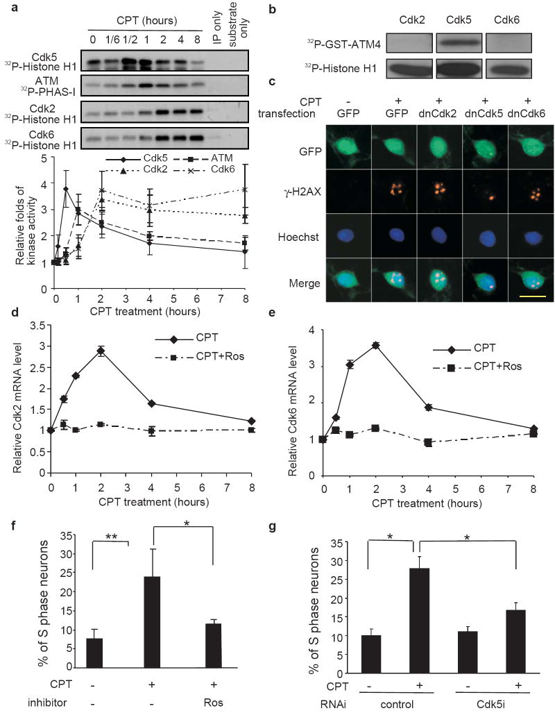 Cdk5 regulates CPT-induced the re-entry of cell cycle by postmitotic neurons ( a ) Kinetics of CPT-induced activation of <t>Cdks</t> and <t>ATM.</t> CGNs were treated with 10 μM CPT for the indicated periods of time. Cdk5, ATM, Cdk2 and Cdk6 kinase activities were measured following immunoprecipitation. The lower graph is the quantification of various kinase activities. Data were shown as mean ± SD (n = 3. All Ns represent independent experiments throughout). ( b ) Phosphorylation of ATM by Cdks in vitro . Purified Cdk2, 5, and 6 were incubated with the recombinant GST-ATM4 protein in vitro in the presence of [γ- 32 P]-ATP under manufacturer's recommended conditions (top panel) or with the standard control substrate Histone H1 (bottom panel). ( c ) The effects of dominant negative (dn) Cdks on CPT-induced γ-H2AX foci formation. CGNs were transfected with constructs for GFP and dnCdks. After 24 hours, cells were treated with 10 μM CPT for 1 hour. γ-H2AX (red) and GFP (green) were detected by immunocytochemistry, and nuclei were labeled with Hoechst (blue). The scale bar represents 5 μM. The average number of foci counted blindly are: GFP control, 0.22; CPT+GFP, 4.81; CPT+dnCdk2, 4.56; CPT+dnCdk5, 3.25, p