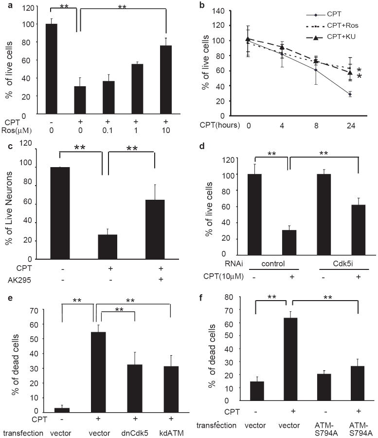 Cdk5-ATM signal regulates DNA damage-induced neuronal death ( a ) Inhibition of CPT-induced neuronal death by roscovitine. CGNs were exposed to 10 μM CPT and different concentrations of roscovitine for 24 hours. Neuronal viability was measured by WST-1 assay. ( b ) Time dependent effect of roscovitine on CPT-induced neuronal death. CGNs were treated 10 μM CPT alone or with 10μM roscovitine (Ros) or 10 μM Ku-55933 (KU) for the different periods of time. WST-1 data are mean ± SD (n =4. **, p