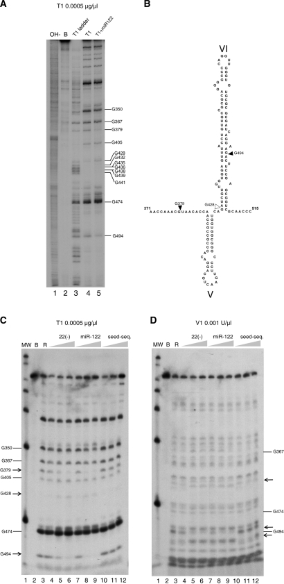 ( A ) 'G' sequence determination of 3′ end-labeled 1–570 RNA in our standard conditions of cleavage by parallel running of RNA degradation with <t>RNase</t> T1 0.0005 µg/µl in denaturing conditions (lane 3), in standard buffer (lane 4) and in the presence of miR-122 at 15 nM (lane 5). Lanes 1 is an alkali ladder degradation and lane 2, the RNA incubated in standard buffer alone. Gs are identified at the right of the gel. ( B ) Secondary structure of stem loop VI and its boundary regions summarizing the position with differential reactivity for RNase T1. Increased resistance is indicated by solid triangles and increased sensitivity by blank triangles. Nucleotide numbering is used, as in Figure 1 . ( C ) Evaluation of the effect of increasing concentrations of probes on the T1 nuclease pattern of cleavage. Lane 1 is a MW marker. Control incubation of 1–570 RNA in the buffer (lane 2), or after addition 0.0005 µg/µl of RNase T1 (lane 3). In subsequent lanes, before addition of the T1 RNase, RNAs were pre-incubated for 1 h with increasing concentrations of ODN 22(−) of 15 nM, 150 nM and 1500 nM (lanes 4–6), or miR-122 at final concentrations of 1.5 nM, 15 nM and 150 nM (lanes 7–9) and a 10-mer oligoribonucleotide carrying the 7 nucleotides of the miR-122 seed sequence to a final concentration of 1.5 nM, 15 nM and 150 nM (lanes 10–12). ( D ) Same as panel B, but the RNase used was double-stranded RNase V1. Arrows indicate the changes in sensitivity to the nuclease.