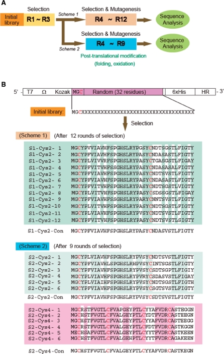 Selection of IL-6R binding molecules from a random library. ( A ) Selection schemes for the enrichment of disulfide bond-containing molecules. The initial library was subjected to affinity selection for three rounds (R1–R3). In Scheme 1 (mRNA display-like procedure), from R4 onward, random mutagenesis was introduced in the PCR amplification step of the R3 selected molecules followed by selection upto R12. In Scheme 2 (cDNA display-like procedure), in addition to random mutagenesis, post-translational modifications were also introduced and the peptides were allowed to fold in the presence of protein disulfide isomerase (PDI) and redox conditions followed by selection upto R9. The displayed peptides were purified owing to the ease of buffer exchange in solid-phase handling. The enriched pools from both the schemes were cloned and sequenced. ( B ) Library construction and sequence characteristics of the selected molecules. A random library was constructed containing 32 residues (shown by X), a fixed cysteine at the N-terminus and 6×-His at the C-terminus for the purification of the peptides. The library was subjected to affinity selection using the two schemes described in (A). Selection with Scheme 1 generated molecules containing two cysteine residues (denoted as Cys-2)—one fixed cysteine and the second from the random region (shown in red). The consensus sequence is shown as S1-Cys2-con and point mutations are highlighted in white. In Scheme 2, molecules containing two (Cys-2; top) and four cysteine residues (Cys-4; bottom) were enriched. S2-Cys2-con and S2-Cys4-con are the consensus sequences of Cys2 and Cys4 peptides, respectively. Point mutations are highlighted in white.