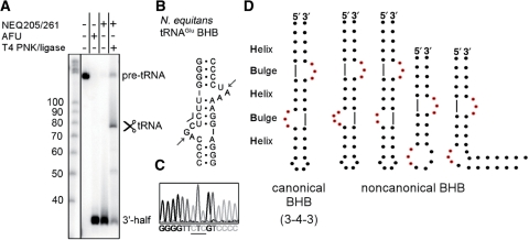 Splicing activity and specificity of the NEQ RNA splicing endonuclease. ( A ) A 3′-radiolabeled RNA transcript of the  N. equitans  tRNA Glu  precursor was incubated without enzyme (–) or with either 1 μM NEQ205-NEQ261 splicing endonuclease at 65°C for 20 min alone or followed by incubation with T4 polynucleotide kinase (PNK) and T4 RNA ligase. AFU splicing endonuclease was incubated with a substrate as a positive control. ( B ) Secondary structure of the relaxed BHB motif of  N. equitans  tRNA Glu  precursor. The predicted cleavage sites are indicated by arrows and the CUC anticodon is indicated by a line. ( C ) The mature tRNA product was excised, amplified by RT-PCR and sequenced. The anticodon loop was correctly assembled and the anticodon is underlined. ( D ) Examples of the RNA substrates cleaved by the tRNA splicing endonuclease that have been confirmed biochemically, i.e. canonical bulge–helix–bulge (BHB) RNA substrate (left panel) (  13 ,  27 ,  28 ) and non-canonical BHB substrates (right panel). For non-canonical substrates, from the left: a synthetic 4–3–3 and 2–3–3 BHB (  28 ), a bulge–helix–loop (BHL) (  29 ) and a  trans -spliced BHL formed by two split half tRNA genes (  13 ,  29 ).
