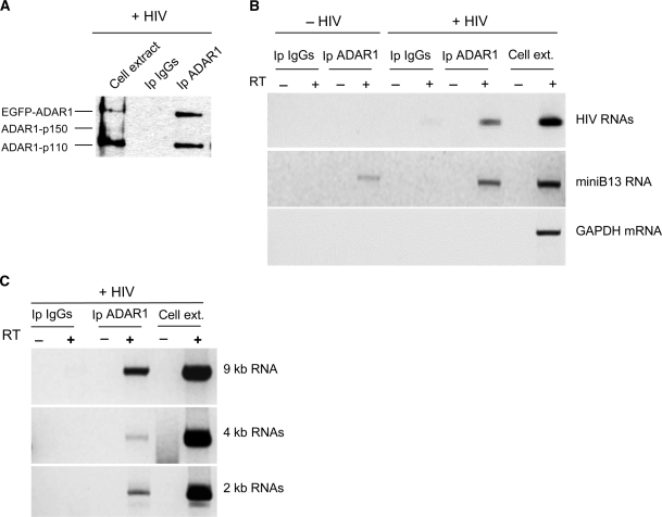 ADAR1 associates with HIV-1 RNAs. 293T cells were transiently co-transfected with miniB13 plasmid (2 μg) and pEGFP-ADAR1 (8 μg) in the presence or absence of NL4-3 proviral DNA (15 μg). Forty-eight hours post-transfection total cell extracts were prepared and immunoprecipitated with anti-ADAR1 antibody or with control rabbit IgGs. ( A ) Western blotting analysis of an aliquot of the immunoprecipitated proteins and total cell extract probed with anti-ADAR1 antibody. ( B ) RNA isolated from the immunoprecipitates was retrotranscribed and amplified by PCR using specific primers to detect the TAR sequence harbored at the extreme 5′ end of all HIV-1 transcripts, the miniB13 transcript and the endogenous GAPDH mRNA. As a positive control, an RT–PCR experiment was performed with total RNA isolated from 293T co-transfected with miniB13 plasmid along with pEGFP-ADAR1, and NL4-3 proviral DNA (Cell ext.). Exclusion of RT from the RT–PCR reaction served as a specific negative control. ( C ) An RT–PCR analysis was carried using specific primers designed to distinguish the different HIV-1 RNA species (unspliced 9-kb RNA, spliced 4-kb and 2-kb RNAs) associated with ADAR1.