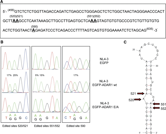 A-to-I RNA editing at specific sites in the 5′ UTR of HIV-1 RNAs. The 5′ UTR sequence of HIV-1 was analyzed by direct sequencing of RT–PCR products generated using as substrate the total RNA isolated from 293T cells co-transfected with NL4-3 proviral DNA (15 μg) together with either pEGFP (8 μg) or pEGFP-ADAR1 (8 μg) or pEGFP-ADAR1 E/A (8 μg) plasmids. ( A ) Edited adenosines in the 5′ UTR sequence analyzed are shown in bold and underlined and their nucleotide position in the HIV-1 genome is indicated (NL4-3 numbering). ( B ) Representative DNA sequencing chromatograms of the RT–PCR products. Edited adenosines appear as mixture of A and G, and the estimated percentage of editing efficiency is indicated ( 30 ). Results shown are representative of three independent co-transfection experiments. ( C ) Schematic representation of the poly(A) hairpin (generated by using mfold server: http://mfold.bioinfo.rpi.edu/cgi-bin/rna-form1.cgi ) harbored in the 5′ UTR of HIV-1 RNA. Red arrows show adenosines that undergo ADAR1 editing and their relative nucleotide position in the HIV-1 genome.
