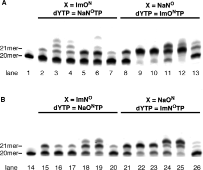 Screening of DNA polymerases for single-nucleotide insertion. ( A ) The reaction for ImO N :NaN O base pair. ( B ) The reaction for ImN O :NaO N base pair. All reactions used the primer-template combination 5′-FITC-GTTCTGGATGGTCAGCGCAC-3′ (20mer) and 3′-CAAGACCTACCAGTCGCGTG X GAACGGGTG-5′ (30mer, X = ImO N , NaN O , ImN O or NaO N ). Lanes 1 and 14 indicate the 20-mer primer; lanes 2, 8, 15 and 21 indicate the results of KF (exo − ); lanes 3, 9 16, and 22 indicate those of Taq DNA polymerase; lanes 4, 10, 17 and 23 indicate those of Tth DNA polymerase; lanes 5, 11, 18 and 24 indicate those of Vent (exo − ) DNA polymerase; lanes 6, 12, 19 and 25 indicate those of Deep Vent (exo − ) DNA polymerase; and lanes 7, 13, 20 and 26 indicate those of KOD Dash DNA polymerase.