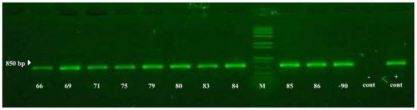 Agarose gel showing the bands from RT-PCR, used for the detection of VHSV (811 base pair) . Pooled leech samples (#66, 69, 71, 75, 79, 80, 83-86, and 90) are representative VHSV-positive samples. The marker (M) used was 1.0 kb plus (Invitrogen).