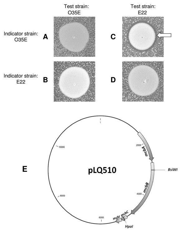 Killing of M. catarrhalis O35E by M. catarrhalis E22 carrying pLQ510 . Test strains and indicator strains were grown on BHI agar plates as described in Materials and Methods. Panels: A, O35E test strain on O35E indicator; B, O35E test strain on E22 indicator; C, E22 test strain on O35E indicator; D, E22 test strain on E22 indicator. The white arrow in panel C indicates the zone of killing of the indicator strain by the test strain. Panel E, schematic of pLQ510 indicating the four ORFs located in the mcb locus. The nucleotide sequence of pLQ510 is available at GenBank under accession no. AF129811 . The positions of the restriction sites used to insert kanamycin resistance cassettes in the mcbB and mcbC genes are indicated.