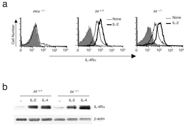 IL-2-induced IL-4Rα expression is independent of IL-4. ( a,b ) Splenic CD4 + T cells from Il4 -/- mice were pre-activated with anti-CD3 and anti-CD28 for 48 h, washed, and then 0 or 100 U/ml of IL-2 was added. IL-4Rα expression was measured by flow cytometry ( a ) or immunoblotting ( b ). Shown are results representative of five (a) or three (b) independent experiments.