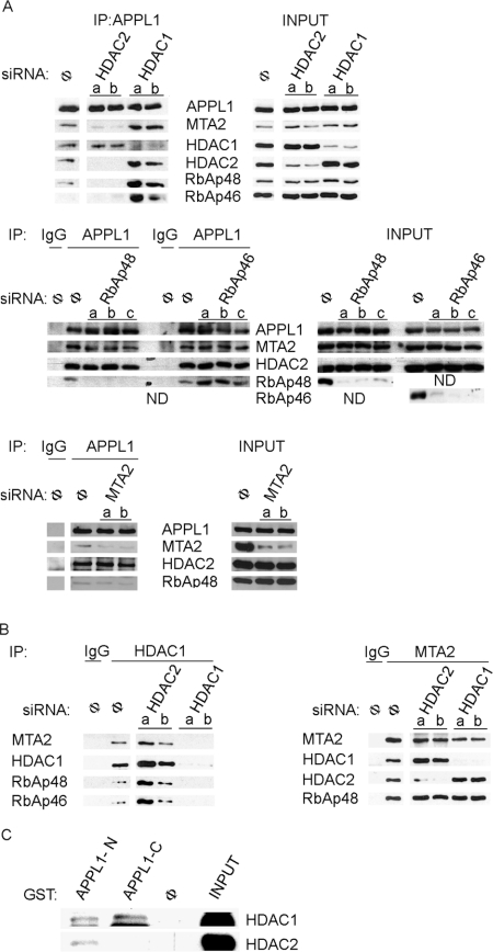 HDAC2 is critical for binding of APPL1 to the NuRD complex ( A and B ) Extracts from HeLa cells transfected for 72 h with two (a, b) or three (a, b, c) different siRNA oligonucleotides per gene against: HDAC1, HDAC2, MTA2, RbAp48 and RbAp46 or non-specific siRNA (Φ) were subjected to immunoprecipitation (IP) using: ( A ) anti-APPL1 antibody; ( B ) anti-HDAC1 antibody (left panel) or anti-MTA2 antibody (right panel). Non-specific antibodies (IgG) were used as controls. Input indicates 10% of total cell extracts used for immunoprecipitation. Immunoprecipitates and input extracts were analysed by Western blotting using different antibodies as indicated. ( C ) To verify the direct interactions between APPL1 and HDAC1 or HDAC2, in vitro translated HDAC1–FLAG and untagged HDAC2 were subjected to GST pull-down assay using GST alone (Φ) or GST fused to the N- or C-terminal parts of APPL1 (APPL1-N or APPL1-C, respectively). Input indicates 10% of in vitro translated material used for the pull-down assay. Bound proteins were analysed by Western blotting using anti-HDAC1 and anti-HDAC2 antibodies. ND, not determined.