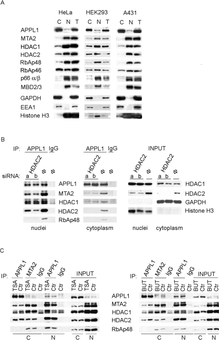 APPL1 interacts with the NuRD subunits in both cytoplasmic and nuclear fractions independently of HDAC enzymatic activity ( A ) Cytoplasmic (C) and nuclear (N) fractions along with total extracts (T) of three different cell lines, <t>HeLa,</t> HEK-293 and A431, were analysed for the presence of several NuRD subunits by Western blotting with different antibodies as indicated. For detection with a given antibody, equal amounts of proteins from all fractions and three cell lines were loaded (20 μg of protein for blotting with anti-p66α/β, -MBD2/3 and -EEA1 antibodies; 15 μg of protein for anti-APPL1, -HDAC2, -RbAp46 and -GAPDH; 10 μg of protein for anti-MTA2, -HDAC1, -RbAp48 and -Histone H3; the different amounts of protein loaded were chosen to match different sensitivities of the antibodies used). Cytoplasmic (GAPDH and EEA1) and nuclear (histone H3) markers were used to demonstrate the purity of fractions. ( B ) HeLa cells were <t>transfected</t> for 72 h with two oligonucleotides (a, b) against HDAC2 or with non-specific control oligonucleotide (Φ). Cytoplasmic and nuclear fractions were prepared and subjected to immunoprecipitation (IP) using anti-APPL1 antibody or non-specific immunoglobulins (IgG). Immunoprecipitates were tested for the presence of several NuRD subunits by immunoblotting with various antibodies as indicated. Right panel: 10% of the input material (cytoplasmic and nuclear fractions) were analysed for the knockdown efficiency using anti-HDAC1 and anti-HDAC2 antibodies, as well as for the fraction purity with anti-GAPDH and anti-histone H3 antibodies. ( C ) Immunoprecipitation from cytoplasmic (C) or nuclear (N) fractions of HeLa cells treated for 20 h with 100 ng/ml of TSA (left panel) or 25 mM sodium butyrate (BUT; right panel) was performed using anti-APPL1, anti-MTA2 or non-specific rabbit IgG. Precipitates along with 10% of the input material were analysed by Western blotting using different antibodies, as indicated. Ctr, control.