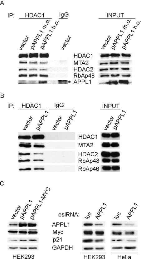 APPL1 overexpression affects the composition of HDAC1-containing NuRD complex and the expression of HDAC1 target p21 WAF1/CIP ( A ) APPL1 overexpression impairs the interactions of HDAC1 with other NuRD subunits. HEK-293 cells overexpressing untagged APPL1 at moderate or high levels (m.o., moderate overexpression of pAPPL1; h.o., high overexpression of pAPPL1) were subjected to immunoprecipitation (IP) with anti-HDAC1 or non-specific rabbit (IgG) antibodies. Immunoprecipitates along with 10% of the extracts used (input, right panel) were tested by immunoblotting for the presence of several NuRD subunits, as indicated. Some non-specific binding of APPL1 to IgG-covered Protein G beads is marked with an asterisk. ( B ) APPL1 overexpression reduces the association of HDAC1 with other NuRD components in the nuclear fraction. HDAC1 was immunoprecipitated from the nuclear extracts of HEK-293 cells with endogenous (vector) or overexpressed APPL1. Immunoprecipitates and 5% of the starting material (input, right panel) were blotted for the presence of the indicated NuRD components. ( C ) APPL1 influences the level of HDAC1 target gene product p21 WAF1/CIP1 . The level of p21 WAF1/CIP1 expression was analysed by Western blotting using anti-p21 antibody in extracts of cells with overexpression or silenced expression of APPL1. Left panel: Extracts of HEK-293 cells overexpressing APPL1 (either untagged, pAPPL1, or MYC-tagged, pAPPL1–MYC) or transfected with a control vector for 48 h were immunoblotted as indicated. No efficient overexpression of APPL1 could be achieved in HeLa cells. Right panel: APPL1 expression was reduced by esiRNA against APPL1 in HEK-293 or HeLa cells, using esiRNA against luciferase (luc) as a specificity control. Transfections with esiRNA were performed for 72 h (HEK-293) or 48 h (HeLa). The resulting extracts were immunoblotted against APPL1, Myc and p21. GAPDH was included as a loading control.