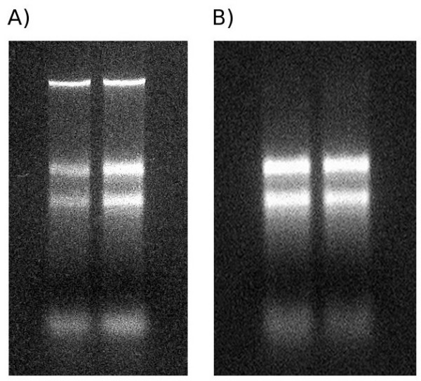 Image showing nucleotide size distribution from CTAB (panel A) and CTAB + <t>RNeasy</t> <t>RNA</t> isolations (panel B) . Nucleotides have been resolved by denaturing gel electrophoresis and have been stained using ethidium bromide and viewed under a UV transilluminator. In both samples, clear rRNA bands can be seen, suggesting the integrity of the RNAs. In the CTAB gel, a band of high-molecular weight DNA can be seen, this is absent from the CTAB + RNeasy extractions.