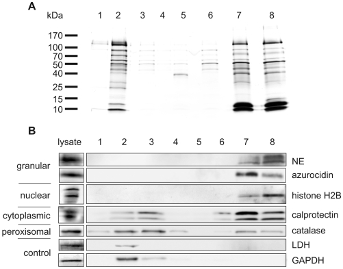 Identification of NET-associated proteins. (A) Silver stained SDS-PAGE and (B) immunoblots with samples from NET protein purification procedure. Human neutrophils were stimulated to form NETs. Supernatants from unstimulated (lane 1) and stimulated (lane 2) neutrophils; first wash (lane 3); second wash (lane 4); medium containing DNase-1 incubated with unstimulated neutrophils (lane 5); DNase-1-free medium incubated with washed NETs (lane 6); medium containing DNase-1 incubated with washed NETs (lane 7); medium containing DNase-1 incubated with washed NETs including protease inhibitor cocktail (lane 8).