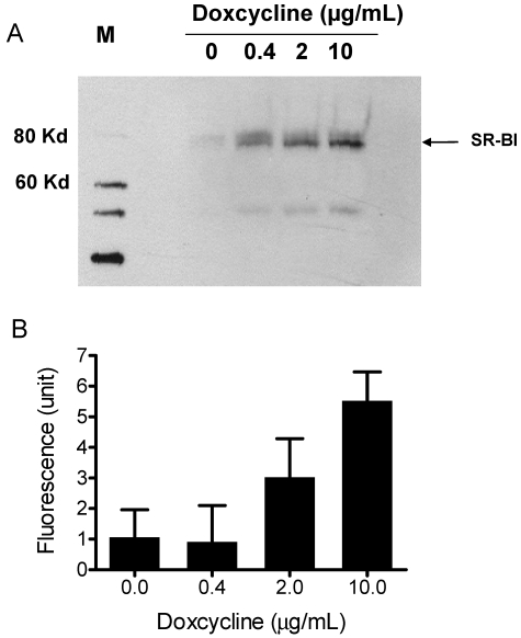 A) Induced SR-BI expression in HEK293 cells. Expression of SR-BI was induced by different concentrations of Doxycycline as indicated on the figure. Western blot analysis was performed with anti-SR-BI antibody (Novus Biologicals, NB400-113). Horseradish peroxidase-conjugated secondary antibody and the enhanced chemiluminescent substrate system (Amersham) were used. B) Bodipy-CE uptake is dependent on the expression level of SR-BI. After Doxycycline induction, HEK293[pTRE-tight-SR-BI] cells were incubated with 10 µg/mL DiO-HDL. The selective uptake was determined as described in Experimental Procedures. Data are presented as mean relative fluorescence units from triplicate or duplicate wells. Error bars represent ±SD.