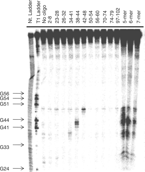 Representative gel autoradiogram of RNase H cleavage experiments to identify single-stranded regions in E. coli 5S rRNA. The numbers above the lanes indicate to which nucleotides in the RNA the oligonucleotide probe is complementary.