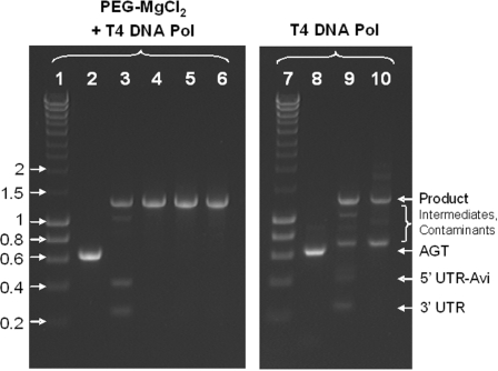 Efficiency of template assembly by uracil excision–ligation and the purifying PCR for DNA templates prepared with  Taq  DNA polymerase. Precipitation with PEG–MgCl 2  is necessary and sufficient for the efficient assembly. L1, hyperladder I in kilobase pairs; L2, substrate AGT amplified with  Taq , precipitated with PEG–MgCl 2  and blunted with T4 DNA polymerase; L3, assembly of L2 with its UTRs + Avi-tag; L4, purifying PCR of L3 with 50 ng DNA per 100 μl PCR; L5, purifying PCR of L3 with 250 ng DNA per 100 μl PCR; L6, purifying PCR of L3 with 500 ng DNA per 100 μl PCR; L7, hyperladder I in kb; L8, substrate AGT amplified with  Taq  and blunted with T4 DNA polymerase; L9, assembly of L8 with its UTRs + Avi-tag; L10, purifying PCR of L9 with 50 ng DNA per 100 μl PCR. Every sample lane contains ∼300 ng DNA.