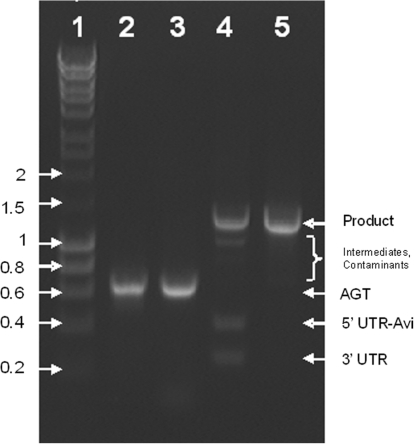 Assembly of an epPCR library. L1, hyperladder I in kilobase pairs;. L2, epPCR library prepared with the Genemorph II kit; L3, epPCR library of L2 re-amplified with  Taq  DNA polymerase and uracil-containing primers; L4, assembly of L3 with its UTRs+Avi-tag after it has been precipitated with PEG–MgCl 2  and blunted with T4 DNA polymerase; L5, purifying PCR of L4 with 50 ng DNA per 100 μl PCR. Every sample lane contains ∼300 ng DNA.
