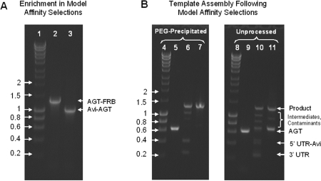 ( A ) The enrichment of Avi-AGT DNA in model affinity selections relative to a non-binding, control template coding for AGT-FRB was  > 250-fold. L1, hyperladder I in kilobase pairs; L2, PCR amplification of the supernatant; L3, PCR amplification of the bead fraction. ( B ) Assembly of recovered DNA fragments; L4, hyperladder I in kilobase pairs; L5, substrate AGT recovered from the bead fraction with  PfuTurbo  C x , precipitated with PEG–MgCl 2  and blunted with T4 DNA polymerase; L6, assembly of L5 with its UTRs + Avi-tag. L7: purifying PCR of L6 with 50 ng DNA per 100 μl PCR; L8, hyperladder I in kilobase pairs; L9, substrate AGT recovered from the bead fraction with  PfuTurbo  C x  and blunted with T4 DNA polymerase; L10, assembly of L9 with its UTRs + Avi-tag; L11, purifying PCR of L10 with 50 ng DNA per 100 μl PCR. Every sample lane contains ∼300 ng DNA.