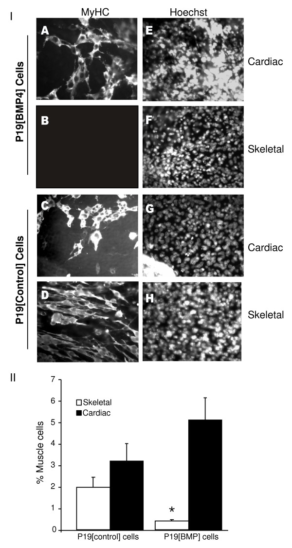 BMP4 inhibits skeletal but not cardiac myogenesis . Panel I : P19[BMP4] and P19[control] cells were aggregated in the presence of 0.8% dimethylsulfoxide (DMSO). Cells were fixed on day 9, stained with MF20 antibody (A-D), and counter-stained with Hoechst dye to show the nuclei (E-H). Magnification is 400x. Panel II : The number of MHC+ve cells were counted and the average +/- standard error of mean shown. Statistics were Student's t -test, * P