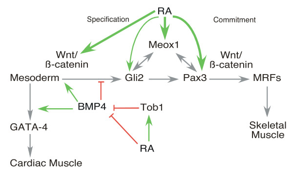 Model of the intersection of retinoic acid (RA), Wnt, and BMP4 signalling during cardiac and skeletal muscle development . BMP4 upregulates Wnt/β-catenin during mesoderm induction (green arrow) and blocks skeletal myogenesis by downregulation of Meox1, Pax3 and myogenic regulatory factor expression (red inhibition arrow). This inhibition can be reversed by RA, which enhances Tob1, Wnt3a, Pax3 and Meox1 expression, activates β-catenin and inhibits BMP4 expression (green arrows). RA receptors bind directly to the Wnt3a, Meox1, and Pax3 regulatory regions (bold green arrows). RA inhibits GATA-4 expression and cardiomyogenesis, likely by inhibiting BMP4 expression and function. Grey arrows indicate previous work [references [ 6 , 8 - 10 , 35 , 38 , 40 , 44 , 102 , 103 ].
