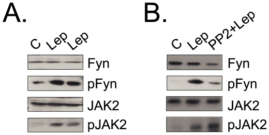<t>Fyn</t> expression and activation in the hypothalmus. (A–B) Some rats were used without previous treatment (A), or some rats were treated with Fyn inhitor <t>PP2</t> (5 nmol in 100 µl buffer, ip) 30 min before leptin injection (B). Anesthetized rats were injected via intra cava vein either with 100 µl saline (C) or with an equal volume of leptin (10 −6 M) (Lep and PP2+Lep); the hypothalami were obtained, homogenized and samples containing 0.5 mg total protein were used in immunoprecipitation assays with anti-Fyn or anti-JAK2 antibodies; immunocomplexes were separated by SDS-PAGE, transferred to nitrocellulose membranes and blotted with anti-phosphotyrosine antibody; or 0.2 mg protein was separated by SDS-PAGE, transferred to nitrocellulose membranes and blotted with anti-Fyn or anti-JAK2 antibodies. The depicted blots are representative of n = 5. In all experiments, n = 5; *p