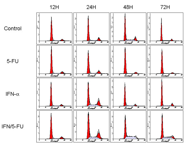 Flow cytometric analysis of cell cycle progression in HUVEC cells treated with or without IFN-α (500 units/ml) and/or 5-FU (0.5 μg/ml) . To synchronize the cell cycle in G0-G1, HUVEC cells were first pre-treated with 2 μM aphidicolin for 16 h. Cells were collected 12, 24, 48 and 72 h later. After pre-treatment by aphidicolin, the majority of cells (86.3%) were in G0-G1. At 24 h, IFN-α alone and IFN/5-FU increased the number of cells with S-phase DNA content. At 48 h and 72 h, IFN/5-FU still resulted in S-phase accumulation.
