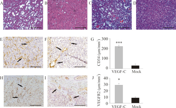 Effect of VEGF-C overexpression on angiogenesis of orthotopic tumors . H E-staining of representative PC-3/VEGF-C (A, orthotopic; C, subcutaneous) tumors and PC-3/mock (B, orthotopic; D, subcutaneous) tumors. PC-3/VEGF-C tumors showed angiogenic morphology with a rich network of capillaries compared with PC-3/mock tumors. There were significantly more blood capillaries (CD34 positive, arrows) in the PC-3/VEGF-C tumors (E, 220 ± 15 μm/mm 2 , n = 29) compared with PC-3/mock tumors (F and G, 37 ± 6 μm/mm 2 , n = 24), p