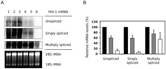 "Nullbasic downregulates the levels of unspliced and singly-spliced HIV-1 mRNA expressed in cells. ( A ) Northern blot analysis of total RNA from HEK293T cells expressing pGCH provirus co-transfected with empty vector (pcDNA3.1+; ""No Tat"", lane 1) or co-expressing increasing amounts of Tat-FLAG (lanes 2 and 3; 1∶2 and 1∶4 molar ratios, respectively) or Nullbasic (lanes 4 and 5; 1∶2 and 1∶4 molar ratios, respectively). An untransfected control was also included (lane 6). Unspliced, singly-spliced and multiply-spliced HIV-1 mRNA were detected with a single HIV-1-specific probe. 28S and 18S ribosomal RNA (rRNA) species demonstrate equal sample loading. Data are representative of four independent experiments. ( B ) Total RNA was extracted from HEK293T cells expressing pGCH co-transfected with empty vector (black bars) or co-expressing Tat-FLAG (gray bars) or Nullbasic (white bars) before RT-PCR reactions were performed using primers specific to unspliced, singly-spliced and multiply-spliced viral mRNA. Tat-FLAG and Nullbasic plasmids were transfected at 2∶1 molar ratios with respect to pGCH. The means and standard deviations of duplicate assays in three independent experiments are shown, with values for each mRNA class expressed as a percentage of the pGCH alone sample."