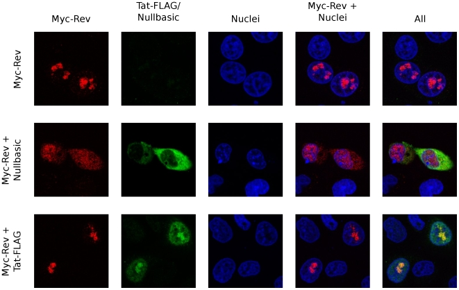 Nullbasic alters the subcellular localization of HIV-1 Rev. HeLa cells expressing a Myc-Rev fusion protein alone (top row), Myc-Rev with Nullbasic (middle row) or Myc-Rev with Tat-FLAG (bottom row) were visualized by confocal microscopy using anti-Myc/Cy3 and anti-FLAG/FITC antibodies. Nuclei were stained with DAPI. The total amounts of transfected plasmids in each experiment were normalized with empty vector (pcDNA3.1+). Images are representative of at least five fields per slide from three independent experiments.