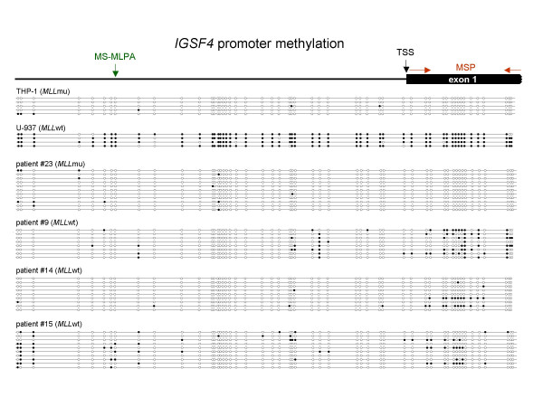 Bisulfite sequencing of the IGSF4 promoter region . The IGSF4 promoter region (559 bp, 52 CpG sites) was sequenced after bisulfite conversion of <t>DNA</t> in two cell lines and selected AML patients. CpGs are represented as open dots (unmethylated) or filled dots (methylated). In MLL wt AML patients and in the MLL wt cell line U-937 clones with CpG methylation next to the transcriptional start site (TSS) were detected whereas no methylation was detectable in the MLL mu patient analyzed and in the MLL mu cell line THP-1. Note that CpG sites analyzed by the MS-MLPA probe (green) and <t>MSP</t> primers (red) are not identical.